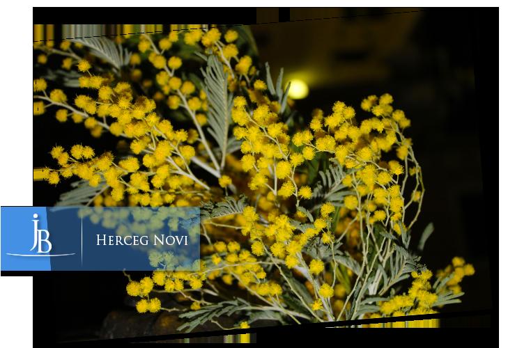 mimoze-herceg-novi